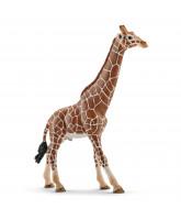 Giraffe - male